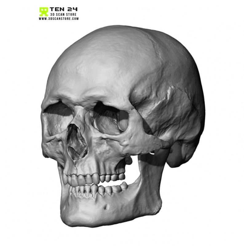 European Male Skull